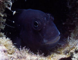 I guess its a Dusky Blenny but its hard to distinguish on... by Daniel Sasse 